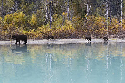Sow Grizzly And Three Cubs Walking Art Print by Rob Daugherty