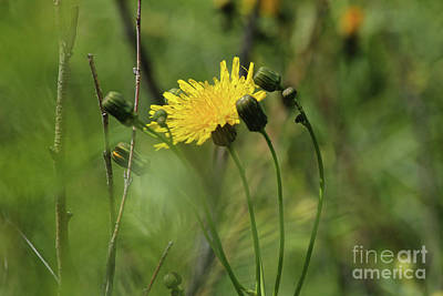Photograph - Sow Thistle by Ann E Robson