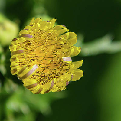 Photograph - Sow Thistle by Tana Reiff