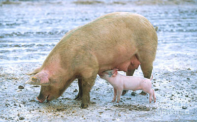 Sow With Piglet Art Print by Science Source