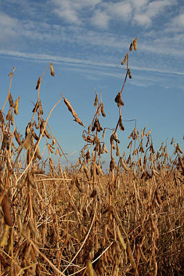 Photograph - Soybeans Waiting by Dylan Punke