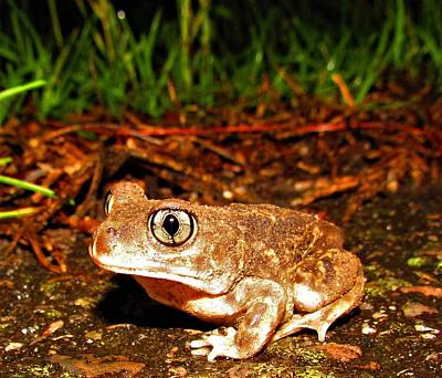 Photograph - Spadefoot Toad by Joshua Bales