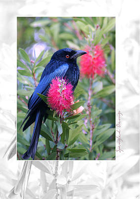 Spangled Photograph - Spangled Drongo by Holly Kempe