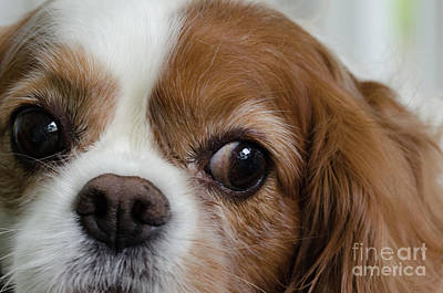 Photograph - Spaniel Closeup by Dale Powell
