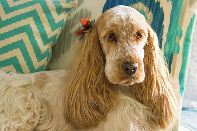 Photograph - Spaniel Sophisticate by Susan Molnar