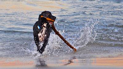 Photograph - Spaniel With A Stick by Kristina Deane