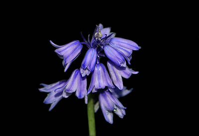 Photograph - Spanish Blue Bell 001 by George Bostian