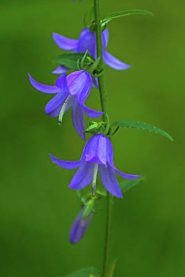 Photograph - Spanish Blue Bell Flowers by Juergen Roth