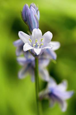 Photograph - Spanish Bluebells 1 by Dawn Cavalieri