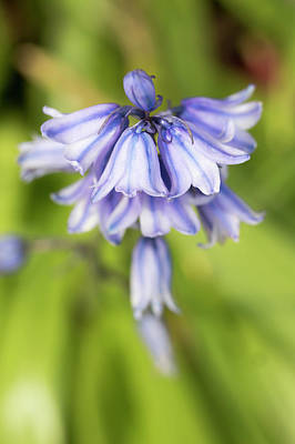 Photograph - Spanish Bluebells 7 by Dawn Cavalieri