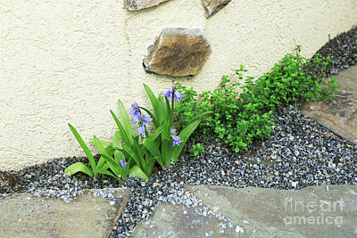 Spring Bulbs Photograph - Spanish Bluebells Growing In A Gravel Path With Thyme by Louise Heusinkveld
