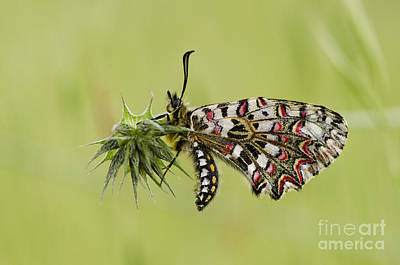 Spanish Festoon Butterfly Art Print by Perry Van Munster
