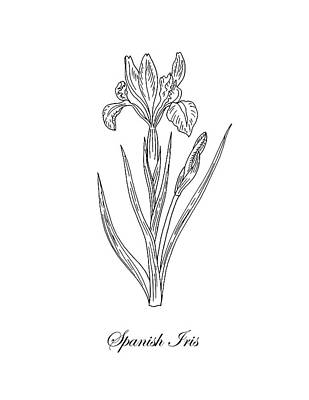 Drawing - Spanish Iris Botanical Drawing Black And White by Irina Sztukowski