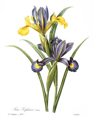 Spanish Iris Art Print by Granger