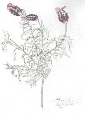 Spanish Lavender Art Print