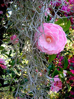 Photograph - Spanish Moss and the Pink Camellia  by Deborah jordan Sackett