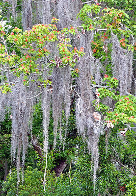 Photograph - Spanish Moss by Donna Proctor
