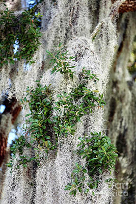 Savannah Fine Art . Savannah Old Trees Photograph - Spanish Moss In Savannah by John Rizzuto
