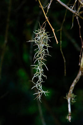 Photograph - Spanish Moss by Tikvah's Hope