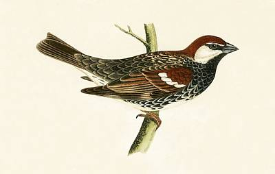 Ornithology Drawing - Spanish Sparrow by English School