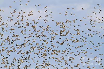 Spanish Sparrow Flock Art Print by Roger Tidman/FLPA