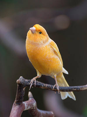 Photograph - Spanish Timbrado Canary by John Poon