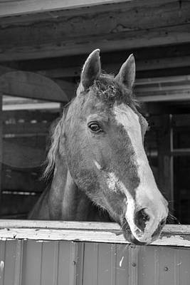 Chestnut Dun Horse Photograph - Spara 15066b by Guy Whiteley