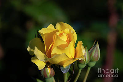 Photograph - Sparkle N Shine Rose 5 by Glenn Franco Simmons