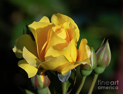 Photograph - Sparkle N Shine Rose 6 by Glenn Franco Simmons