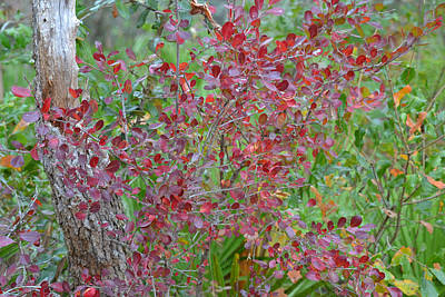 Target Threshold Nature Rights Managed Images - Sparkleberry Red - Vaccinium arboreum Royalty-Free Image by rd Erickson