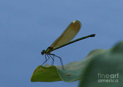Photograph - Sparkling Jewelwing #2 by Paul Rebmann