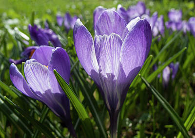 Sun Photograph - Sparkling Spring Crocus by Nat Air Craft