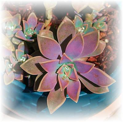 Photograph - Sparkling Succulent by Ellen Barron O'Reilly
