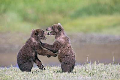 Photograph - Sparring Cubs by Mark Harrington