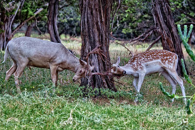 Photograph - Sparring Deer by Douglas Barnard