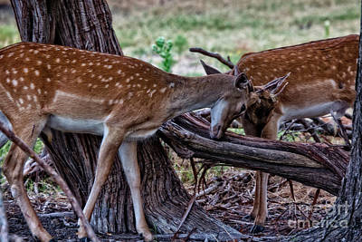 Photograph - Sparring Deer V2 by Douglas Barnard