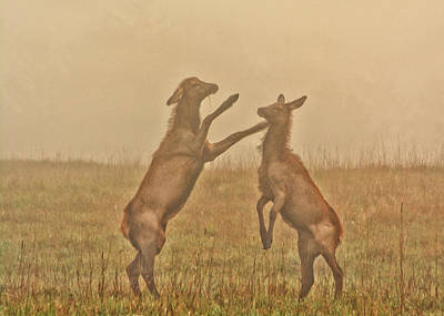 Photograph - Sparring Elk Calves by Cora Ahearn