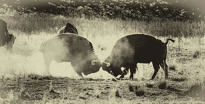 Butting Heads Photograph - Sparring Partners - American Bison by TL Mair
