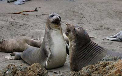 Photograph - Sparring Seals  by Christy Pooschke