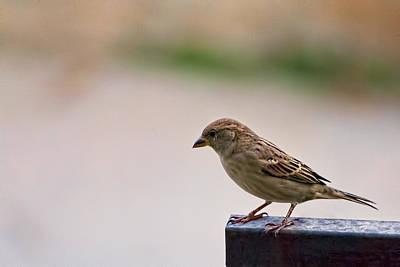 Photograph - Sparrow 1 by Isam Awad