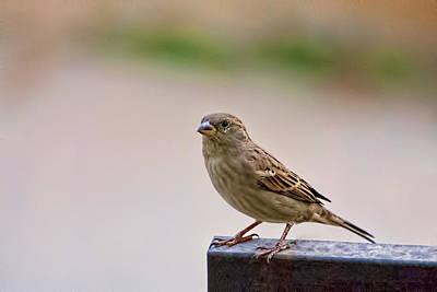 Photograph - Sparrow 2 by Isam Awad
