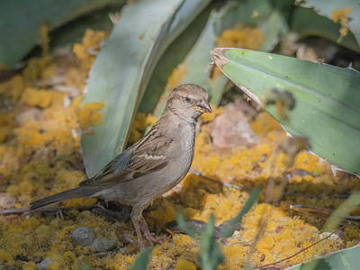 Photograph - Sparrow 4390-040418-1cr by Tam Ryan