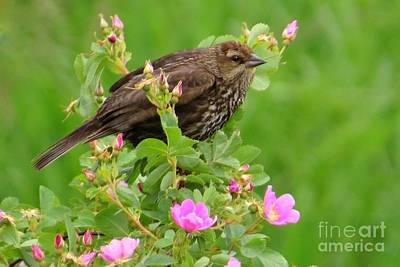Photograph - Sparrow Among Roses by Frank Townsley