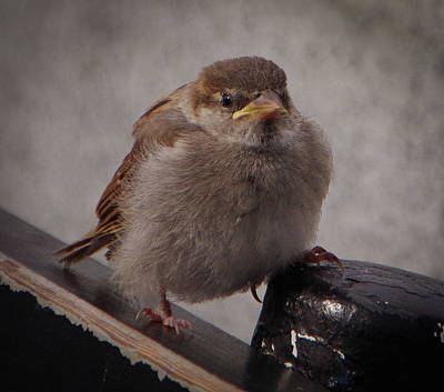 Photograph - Sparrow Baby by Marilyn Wilson