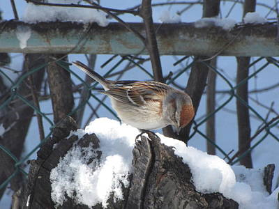 Photograph - Sparrow by Cheryl Charette