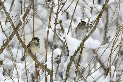 Photograph - Sparrow Couple In Snowy Branches by Tana Reiff