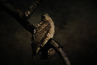 Photograph - Sparrow Hawk by Manjot Singh Sachdeva