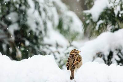 Photograph - Sparrow In First Snow by Joni Eskridge
