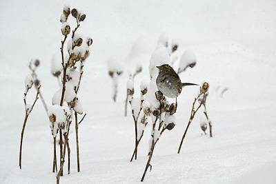 Photograph - Sparrow In Snow by Tana Reiff