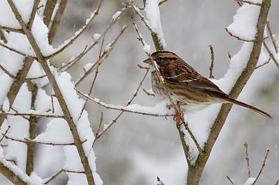 Photograph - Sparrow In Snowy Branches by Tana Reiff